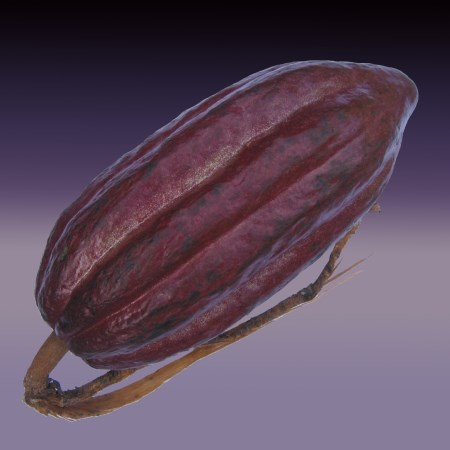 Chocolate Theobroma cacao