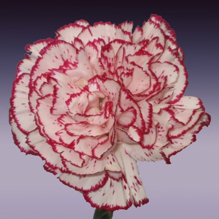 Carnation 'Tempo' Dianthus