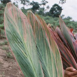 Cordyline 'striped leaves' Cordyline terminalis