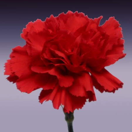 Carnation 'Nelson' Dianthus