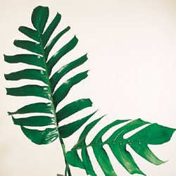 Monstera 'epipremnum' Monstera