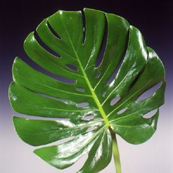 Monstera 'Swiss Cheese Plant' Monstera Deliciosa