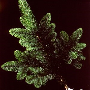 Noble Fir Abies nobilis