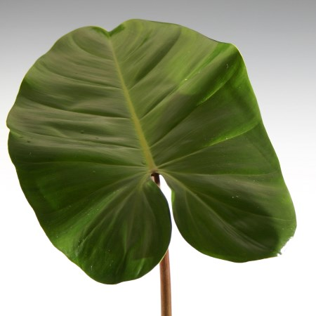 Philodendron 'Red Wing' Philodendron tuxla