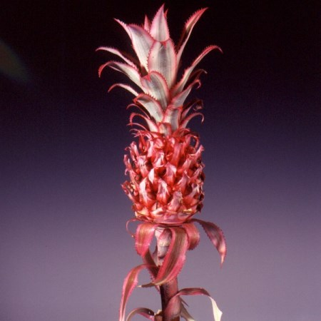Pineapples Ananus comosus