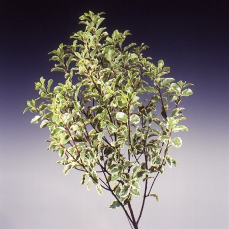 Pittosporum 'silver queen' Pittosporum tenuifolium