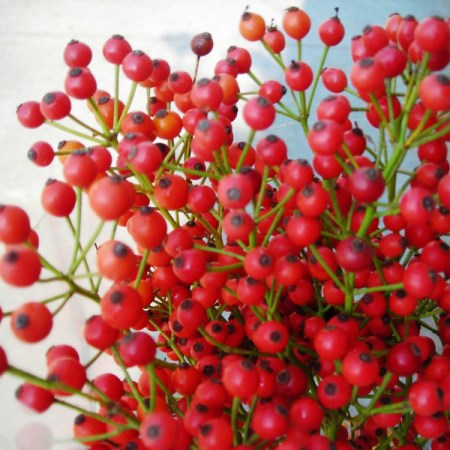 Rosehips 'Corallo'