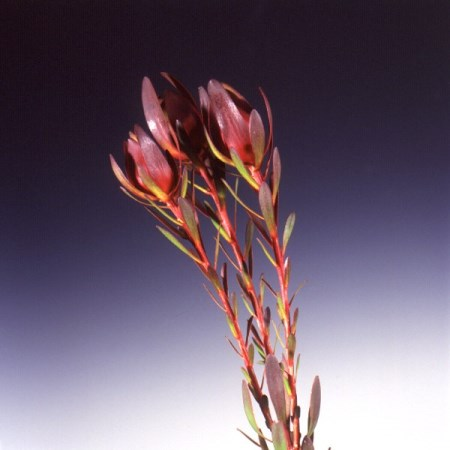 Safari Sunset 'discolor' Leucodendron