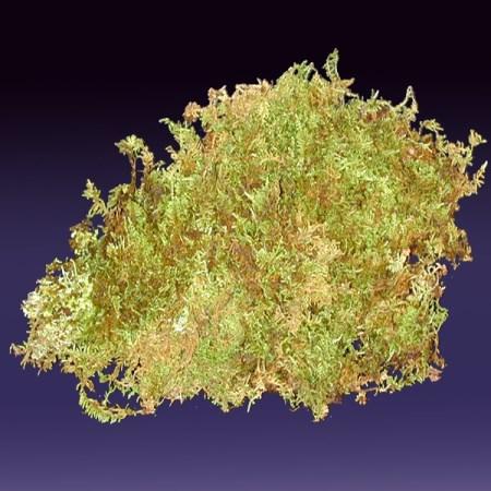 Sheet Moss Hypnum Curvifolium Cut Foliage Sunflora