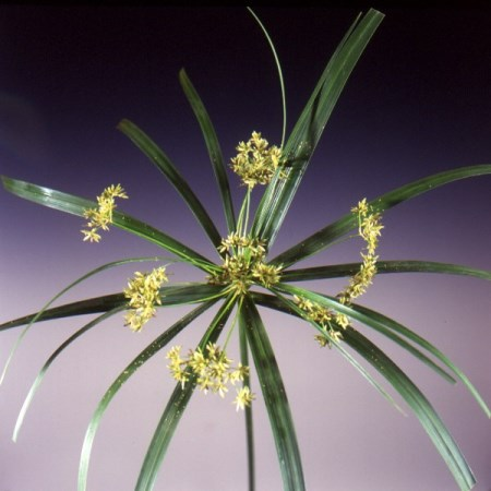 Umbrella Plant Cyperus alternifolia