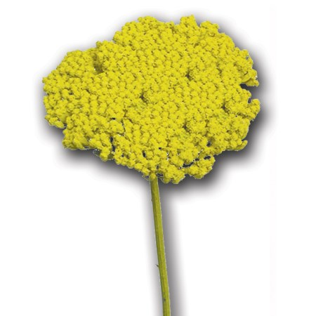Achillea 'natural yellow' Achillea parker