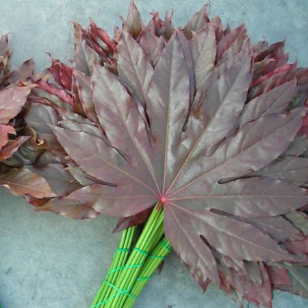Aralia 'Tinted Red'