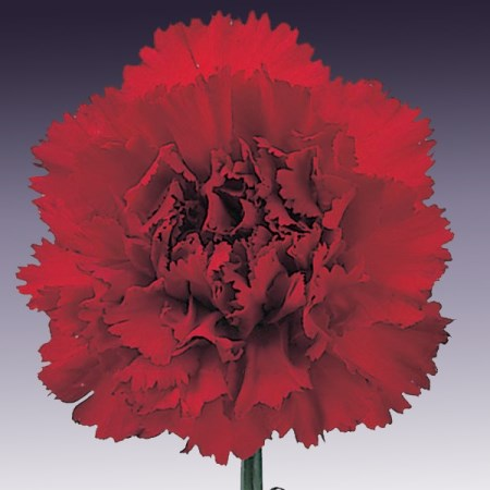 Carnation 'Africa' Dianthus