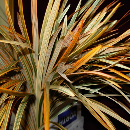 China Grass 'painted orange' Miscanthus sinensis