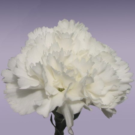 Carnation 'Snow White' Dianthus