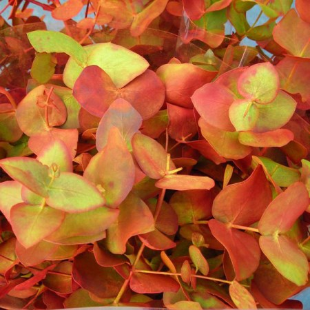 Eucalyptus 'painted Autumn Colours' Eucalyptus cinerea